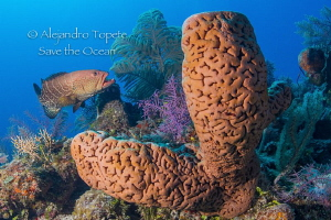 Sponge and snapper Gardens of the Queen Cuba by Alejandro Topete 